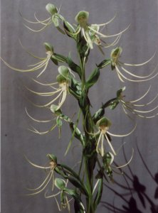 Habenaria species Mexico